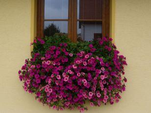 Letničky a balkonové rostliny